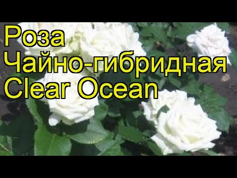 Роза чайно-гибридная Клер Оушен. Краткий обзор, описание характеристик Clear Ocean