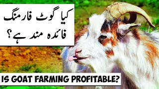 Is Goat Farming PROFITABLE? Success & Failure Reasons of Goats Grazing & Farming Business in Urdu HD