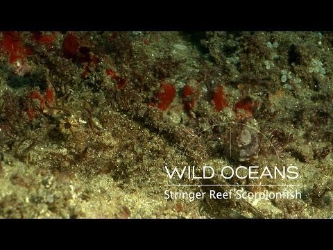 Master Of Disguise: The Incredible Camouflage Of A Weedy Scorpionfish