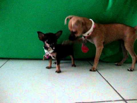 Chihuahua Vs Techichi Mpg Youtube