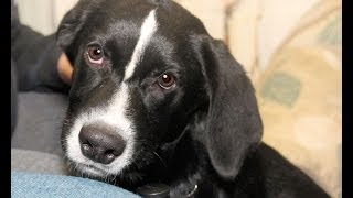 Rebel, A 5- To 6-month-old Lab/border Collie Mix Puppy Adopted In Manahawkin,