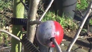 Julie's Allotment - Cutting Globe on Apple Tree (Part 1) - 11th Feb 2016