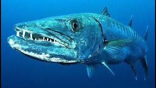 Подводная охота в Египте реальна Метровая барракуда Каранкс GT Big game fishing in the Red sea