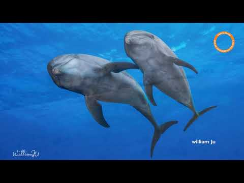 Ocean Geographic French Polynesia  - 20,000 Groupers, 700 sharks & Dolphins expedition 2019