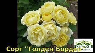 Обзор сортов роз флорибунда
