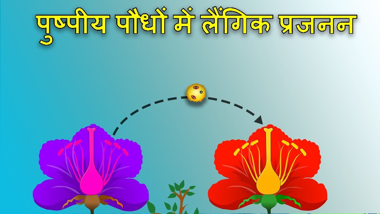 Sexual reproduction in flowering plants in hindi