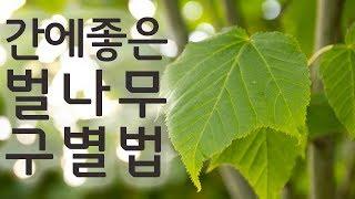 자연산 벌나무 구별법 벌나무가지 구별법