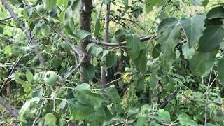 Elmada Dolu Zararı ve Karaleke Hastalığı