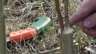 видео Прививка яблони весной