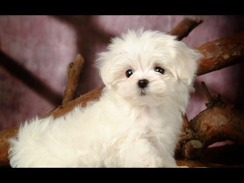Chó Poodle - Ưu Điểm Và Nhược Điểm