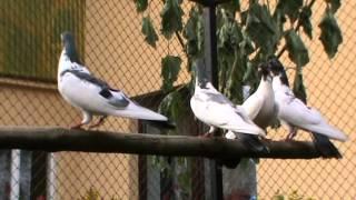 Gołębie Zamojskie