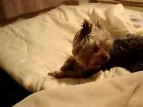 yorkie-bed-digger