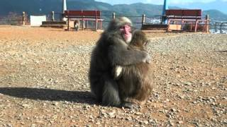 Female-female mounting in Japanese macaques
