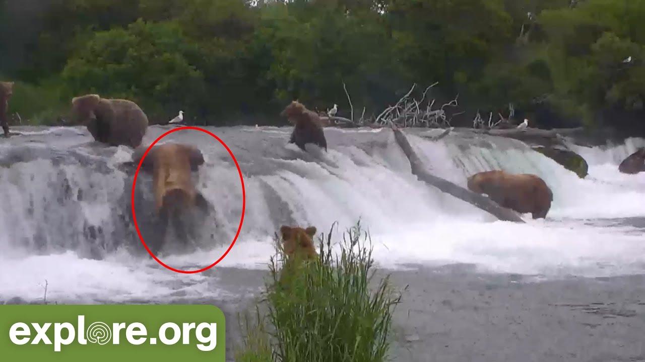 Bears Falling off Brooks Falls