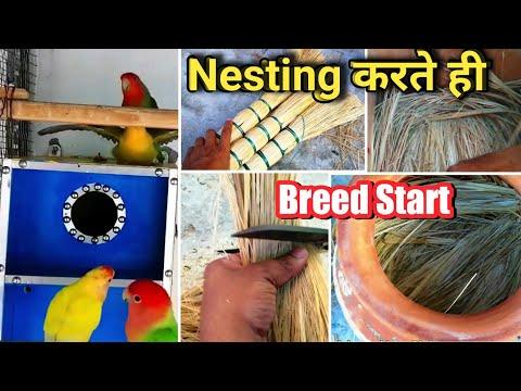 Nesting करते ही Breed Start Ho Gayi | Best Nesting Material For African Love Birds | जल्दी देखे