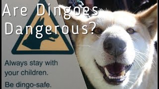 Are Dingoes Dangerous?
