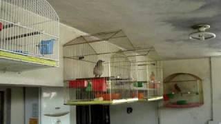 El sublime canto del cardenal rojo, el cenzontle y otros pájaros