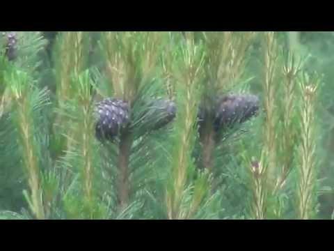 Где растут кедровые шишки