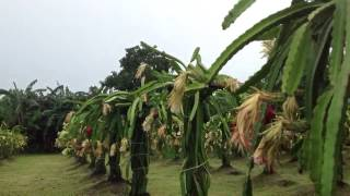 Lupac Dragonfruit Farm