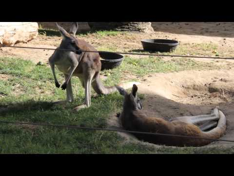 Kangaroos from the Chaffee Zoo Fresno Oct 4th 2014