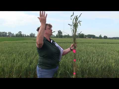 2017 Update on Weed Control Research in Wheat