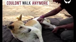 Собаку сбила машина и ее парализовало, но ее нашли добрые люди. История невероятного спасения!