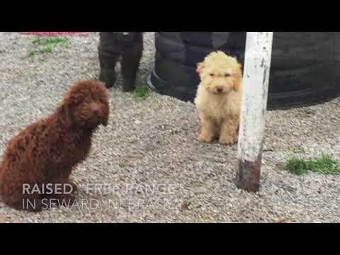 PuppyFinder.com : Rob's Water Dogs