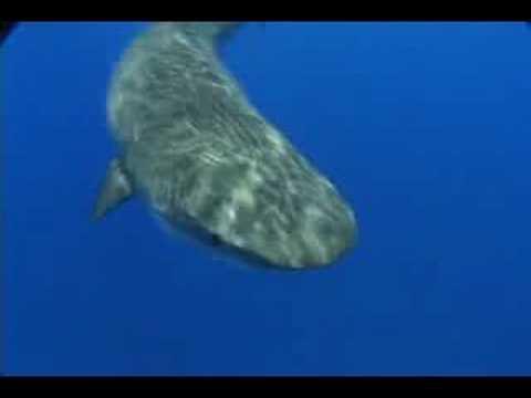 Bermuda Tiger Sharks