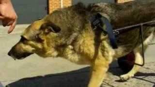 Паралич задних конечностей у собаки, коляски для собак