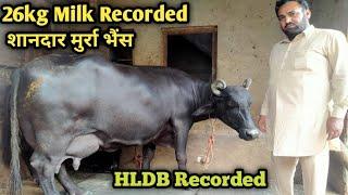 पंजाब के बूढ़े किसान के पास है, 👍Superstar Murrah Buffelo 3rd Lactation Milk Record-22:393Kg