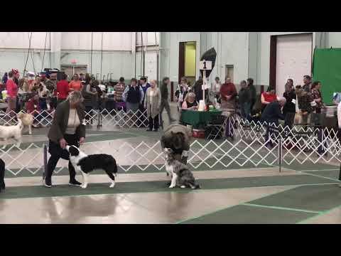 Cara Wins Best Puppy Border Collie