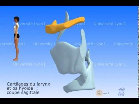 Le larynx. Cartilages et os hyoïde. - YouTube