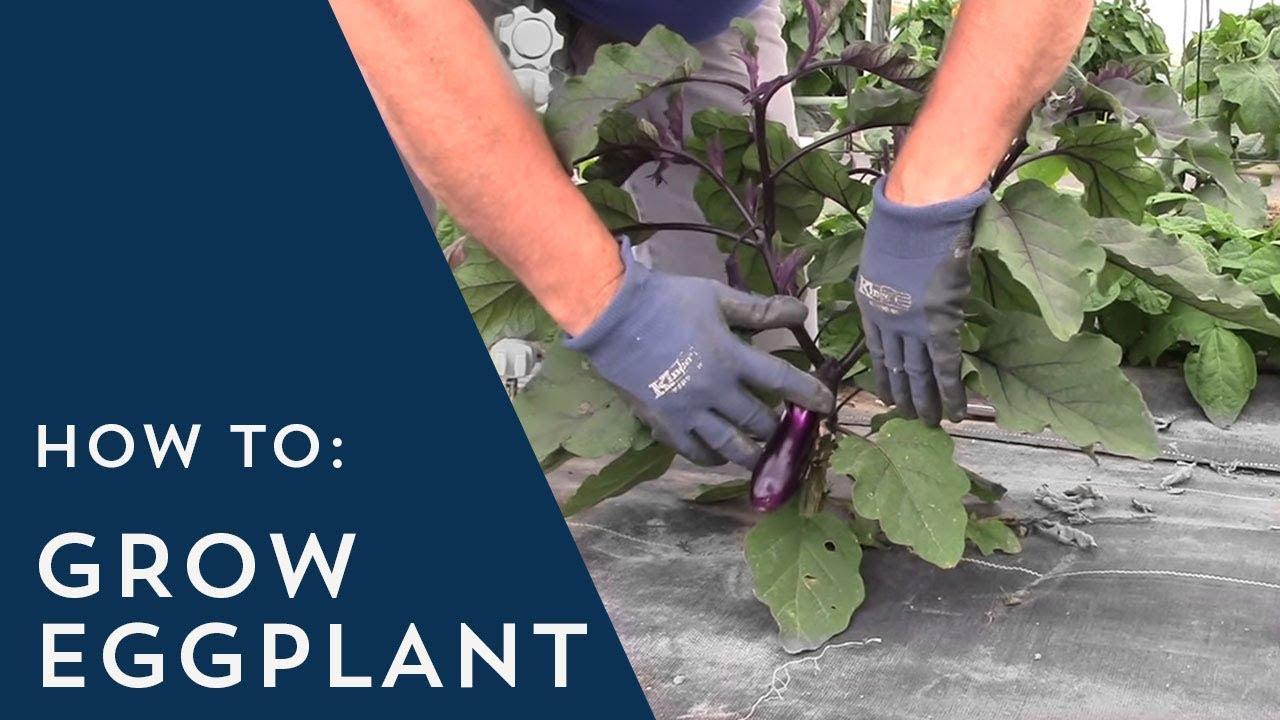 How To Grow Eggplant You