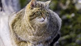 В Беларуси заметили лесного кота, который 90 лет считался вымершим.