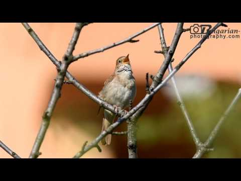 Common Nightingale (Luscinia megarhynchos) song and sounds