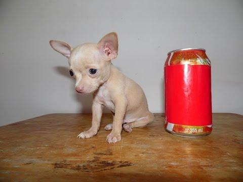 Como comprar un chihuahua de bolsillo - chihuahuasdebolsillo.comиз YouTube · Длительность: 1 мин5 с  · Просмотры: более 4000 · отправлено: 05.03.2016 · кем отправлено: Chihuahuas de Bolsillo