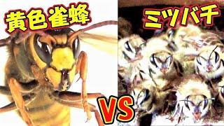 【自然の摂理Ver.】キイロスズメバチVSニホンミツバチ!