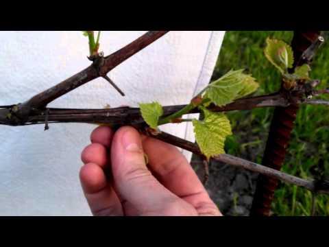 Виноград ИЗАБЕЛЛА поэтапное развитие куста №1 (2 часть)