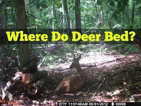 Where Do Deer Bed? Whitetail Deer Hunting Tips And Tricks
