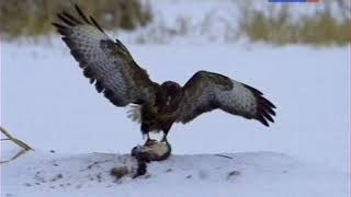 Орлан. Крылатый властелин морей.