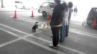 座れ、マテをして、人が動きます。 Sit & Wait. handler is said. Shiba...