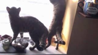 Savannah Cats Chirping at Bird