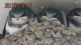 茨城県守谷市自宅の玄関の軒先に、ツバメが巣を作りました。 2012年...