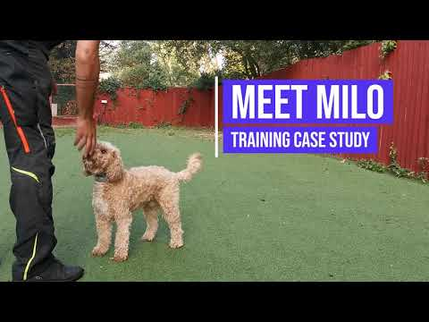 Recall training for a 3 year old Cockapoo