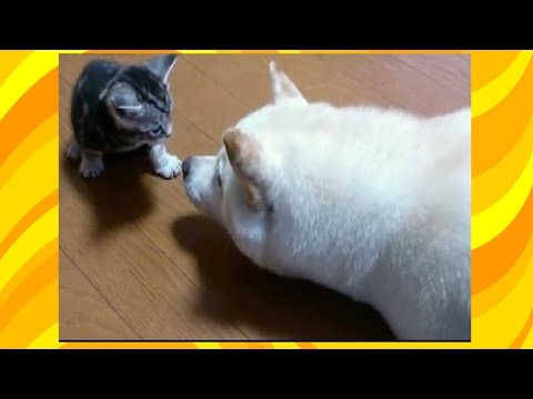 Can't Stop Laughing - Funny Animals Compilation ✯ Cats and Dogs Love Each Other