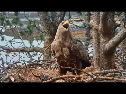 Smola Norwary Eagle Cam ~ Changing Of The Guard ~ Baroness Rolls Eggs + Views 4.17.18