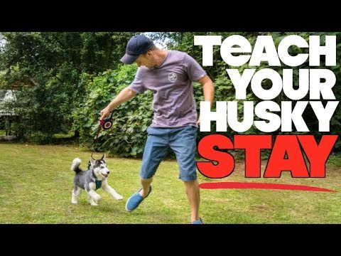 Teach Your Husky To STAY! - (Siberian Husky Tricks)