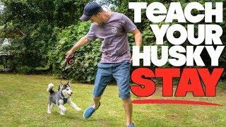 Teach Your Husky To STAY! - (Siberian Husky Tricks)