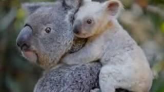 Australian zoo welcomes rare white koala, white joey, unnamed cute little koala