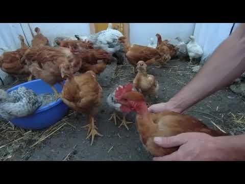 Взвешивание двух месячных и одно месячных цыплят мастер грей, голошейки и фокси чики.